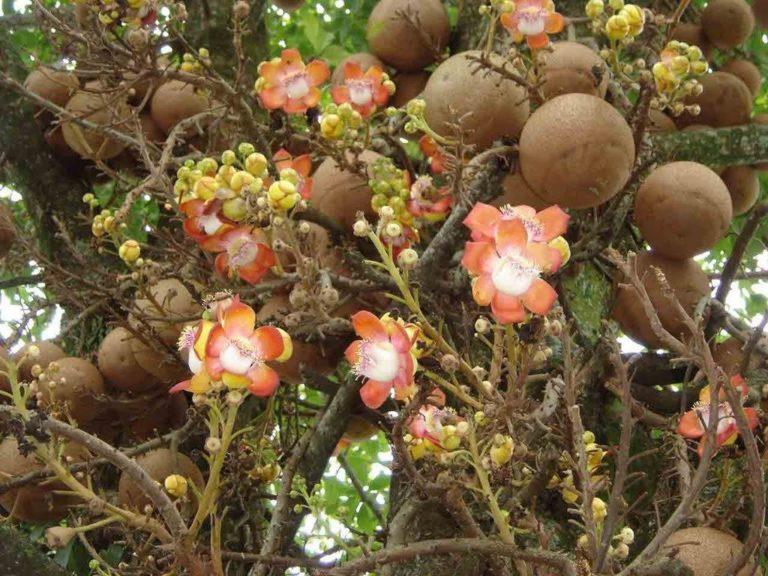 Flor y fruto de la Ayahuma